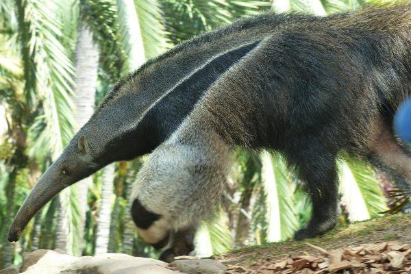 ALEXMENÜ ist Pate von einem Ameisenbär im Zoo Magdeburg